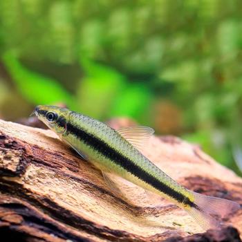 Crossocheilus oblongus – Siamese algae eater