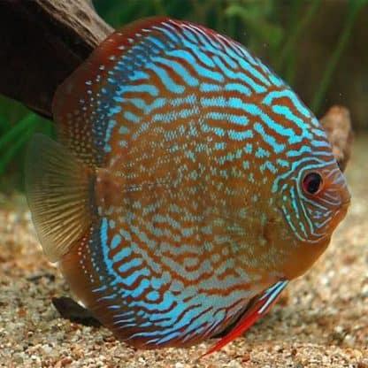Symphysodon discus blue tiger
