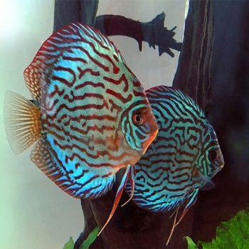 Symphysodon discus turquoise blue 11-12 cm