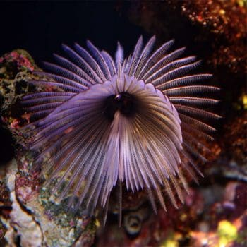 Sabellastarte sp. Giant feather duster