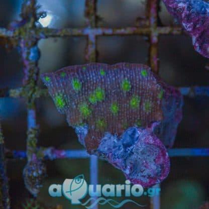 Echinopora G71