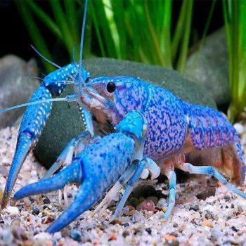 Procambarus Alleni S – Blue Florida Crayfish