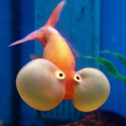 Carasius auratus – Red Bubble Eye