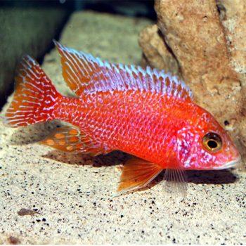 Aulonocara baenschi  – Dragon Blood Peacock 6-7 cm