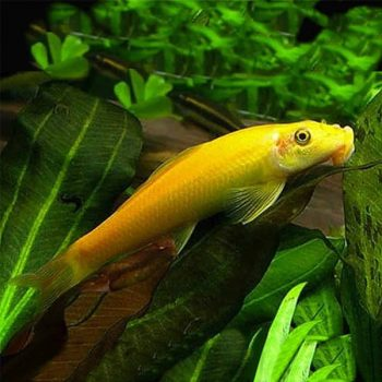 Gyrinocheilus aymonieri – Chinese Algae Eater Gold