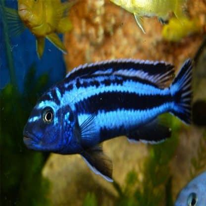 Melanochromis cyaneorhabdos-maingano 4-5 cm