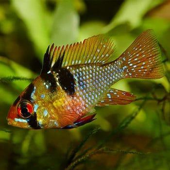 Microgeophagus Ramirezi Blue