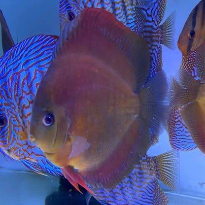 Symphysodon discus San Merah 11-12 cm