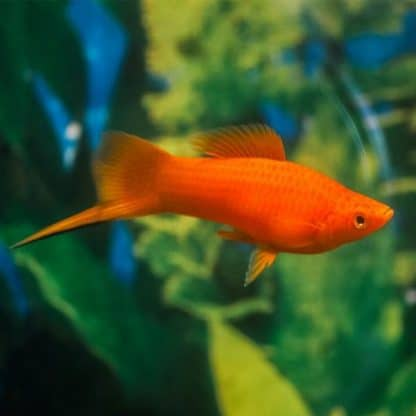 Xiphophorus Helleri swordtail  mix