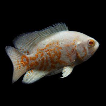 Oscar ( astronatus ocellatus – albino )