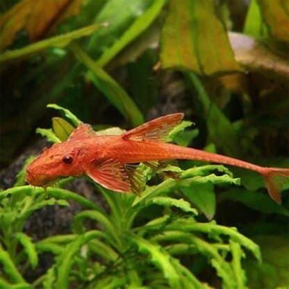L11a Rineloricaria sp. (red lizard)