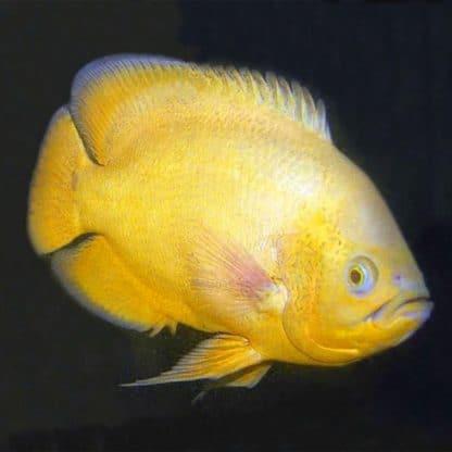 Astronotus Ocellatus Lemon
