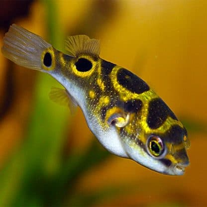 Tetraodon biocellatus- Eyespot Pufferfish