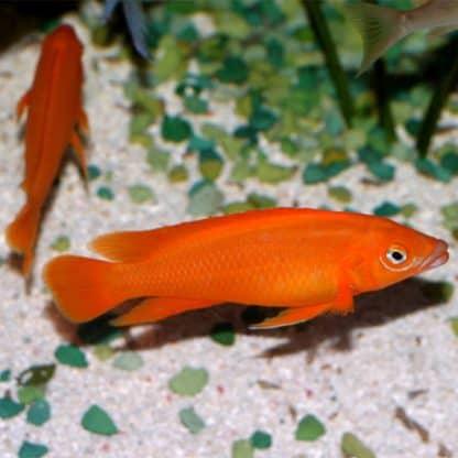 Neolamprologus leleupi – Lemon Cichlid