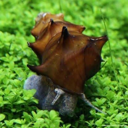 Brotia pagodula – Pagoda Snail