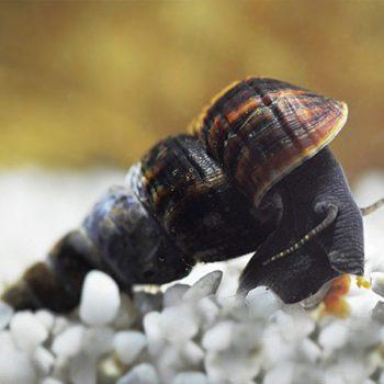 Tylomelania sp.- Volcano Snail