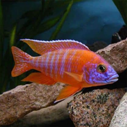 Aulonocara five color Nyassae 5-7 cm