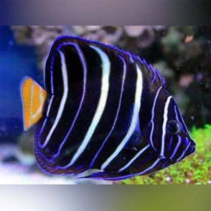 Pomacanthus chrysurus – Goldtail Angelfish