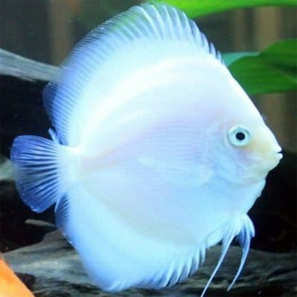 Symphysodon discus white butterfly 6-7 cm