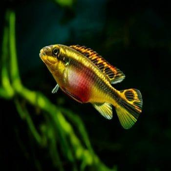 Pelvicachromis pulcher – Kribensis
