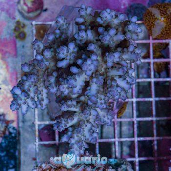 Acropora loripes