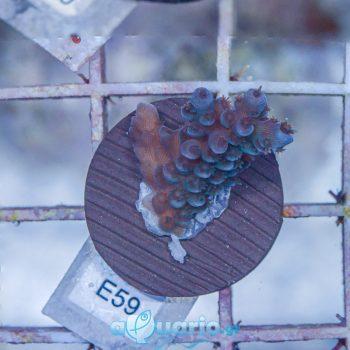 Acropora E59