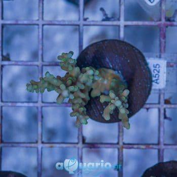Acropora latistella A525
