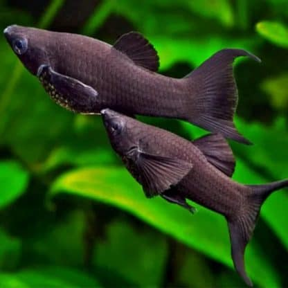 Poecilia sphenops black longfin- black molly longfin