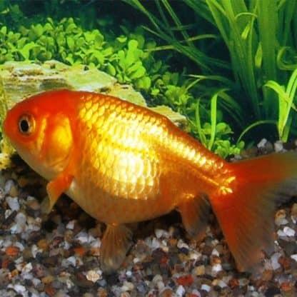 Carasius auratus – Ranchu Red 5-6cm