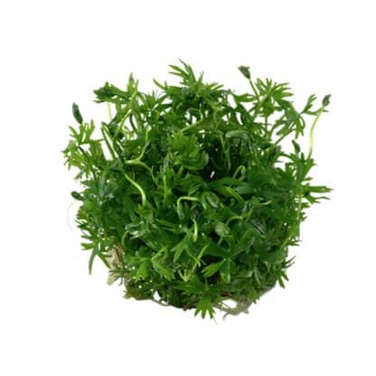 Tropica Ranunculus inundatus 1-2 Grow!