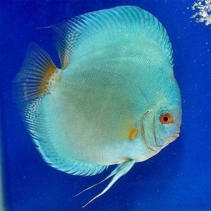 Symphysodon discus blue angel 6-7 cm