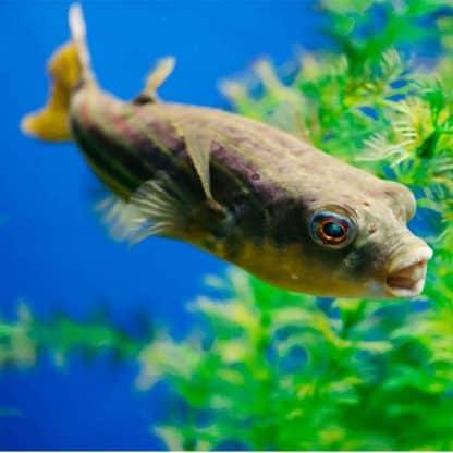 Tetraodon lineatus – fahaka pufferfish