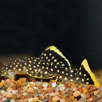 Baryancistrus Sp. L 018 – Golden Nugget pleco