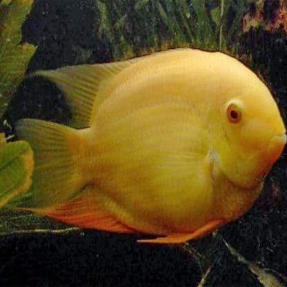 Heros sp. inirida albino