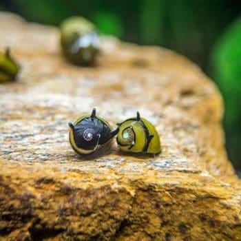 Yellow Horn Snail