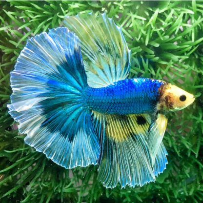 Betta splendens – Siamese Fighting Fish Butterfly