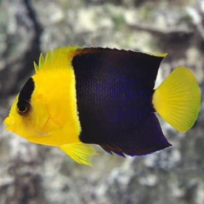 Centropyge bicolor (s)