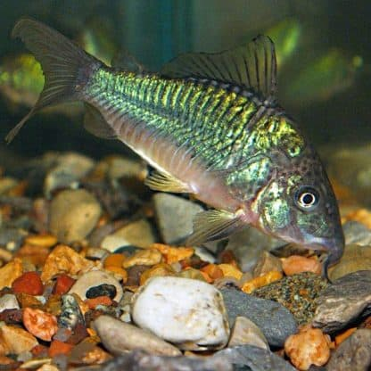 Brochis splendens-green corydoras