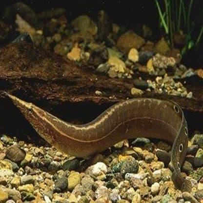 Macrognathus aculeatus – lesser spiny eel