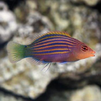 Pseudocheilinus hexataenia s