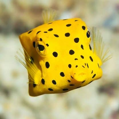 Ostracion cubicus S – Yellow Boxfish