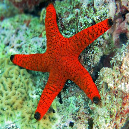 Fromia indica – Indian Sea Star