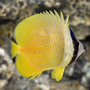 Chaetodon kleini M – Sunburst Butterflyfish
