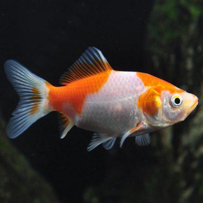 Carassius auratus -Sarasa Goldfish