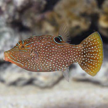 Canthigaster solandri M – Spotted Sharpnose