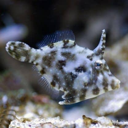 Acreichthys tomentosus Μ – Matted Filefish