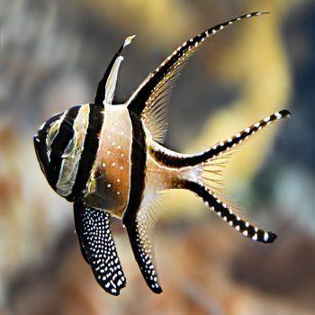 Pterapogon kauderni M – Banggai Cardinalfish