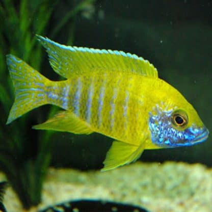 Aulonocara baenschi yellow peacock cichlid  7-8cm