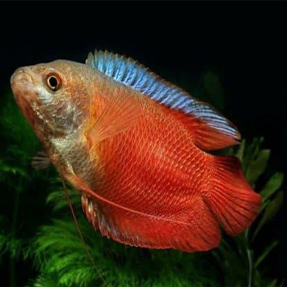 Trichogaster lalius red pair