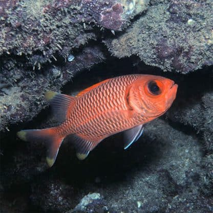 Myripristis murdjan S – Pinecone Soldierfish